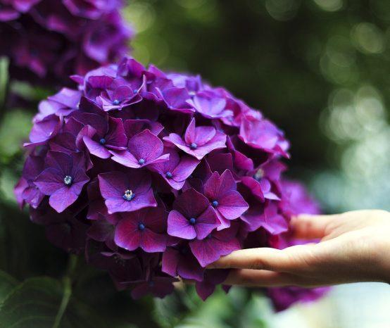 Faustregeln für den Hortensienschnitt